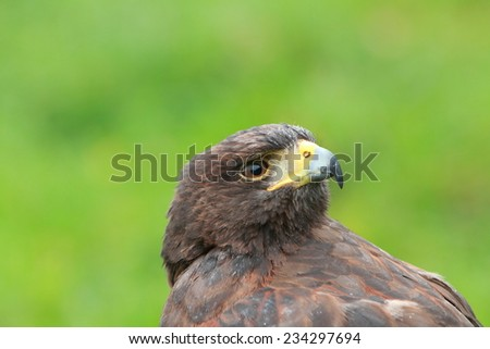 Bay winged Hawk - stock photo