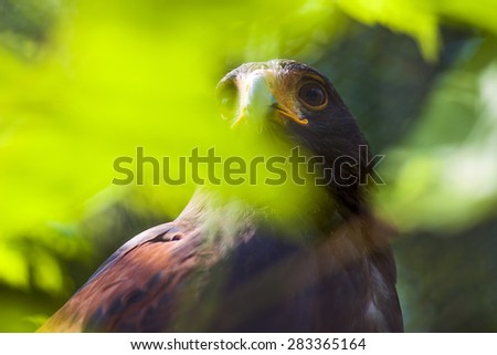 Bay-winged hawk - stock photo