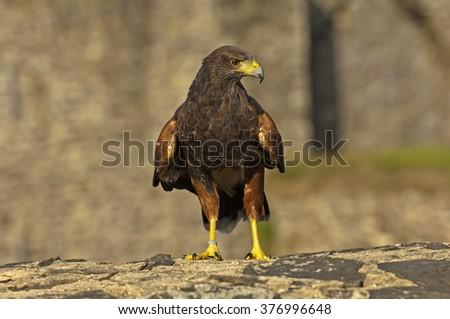 Bay-winged Hawk - stock photo