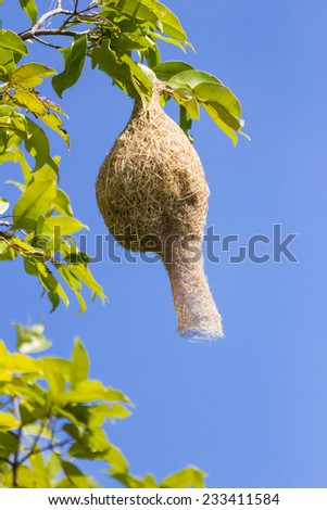 Baya weaver bird nest  branch on tree with blue sky - stock photo