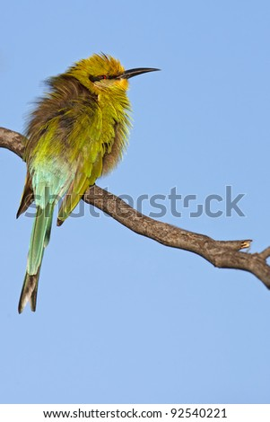 Bea eater sitting on a branch - stock photo