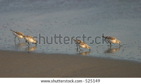 Beach Birds Searching for Food - stock photo