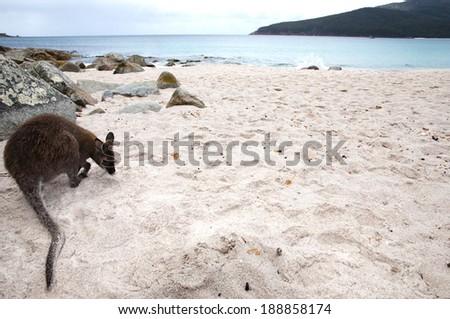Beach kangaroo in Freycinet Wineglass Bay - Tasmania - Australia - stock photo