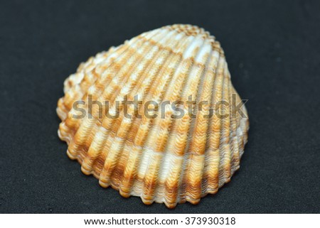 beach shells in black background isolated - stock photo