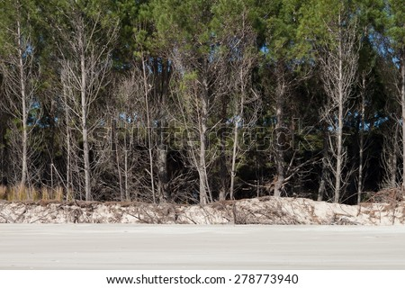 beach side stand of pinus radiata being eroded by tide at Matarangi Beach, Coromandel Peninsula, New Zealand  - stock photo