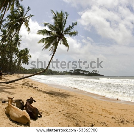 Beach with palms and relaxin sacred cows.