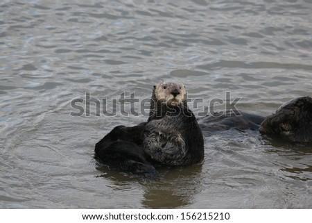 Beached Sea Otter - stock photo
