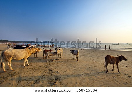 beaches of Goa, India - Holy cows at sunset on Palolem beach
