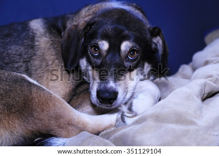Beagle And Husky Mix, Nap Time, This Beauty is posing right before her nap - stock photo