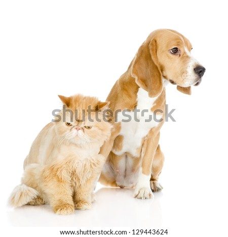 Beagle and persian cat. looking away. isolated on white background