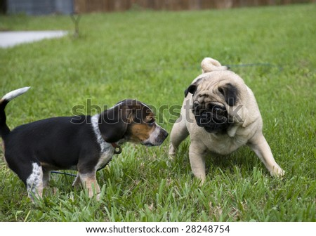 Beagle and Pug Playing