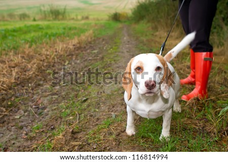 Beagle being walked on a lead in the field - stock photo