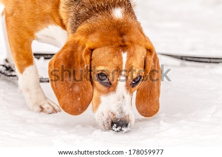 Beagle closeup image of the dog sniffing the snow.
