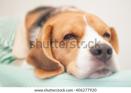 beagle dog  - stock photo