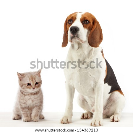 beagle dog and british kitten on white background