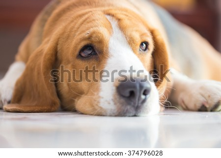 Beagle dog boy cute close up portrait looking up - stock photo