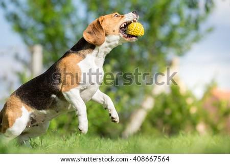 Beagle dog catching a ball - stock photo