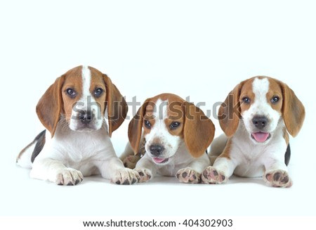 beagle dog family