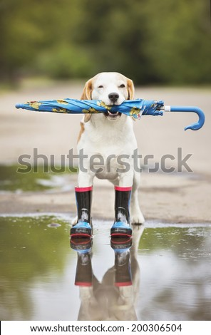 beagle dog in rain boots holding an umbrella - stock photo