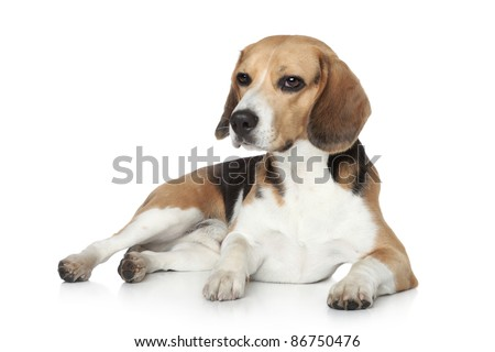 Beagle dog in studio, lying on white background