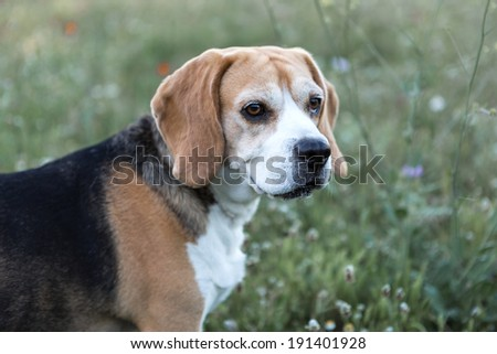Beagle dog in the field