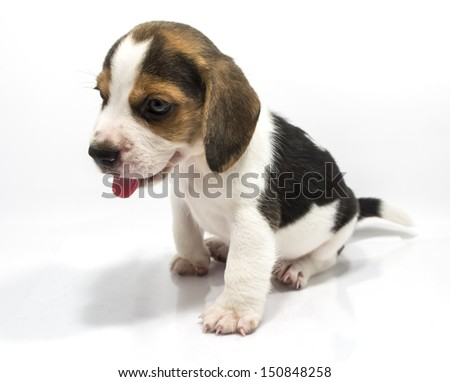 Beagle dog isolate and of white background
