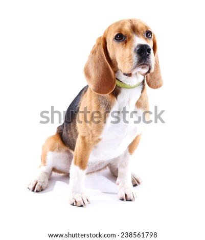 Beagle dog isolated on white - stock photo