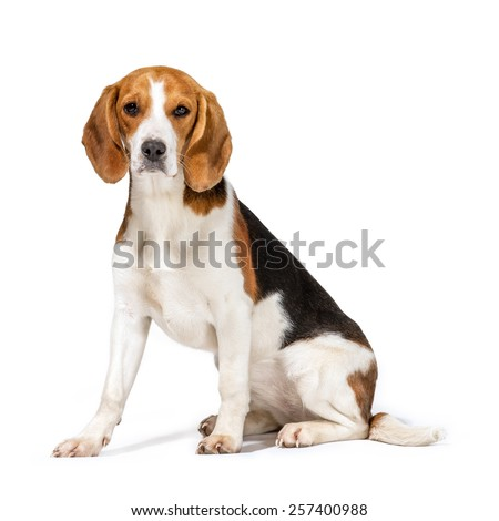 Beagle dog isolated on white background - stock photo