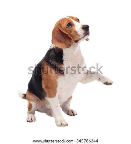beagle dog isolated on white background