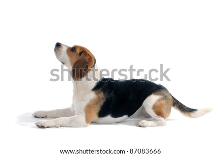 Beagle dog lay down look up, in studio, isolated on white background