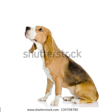 Beagle dog looking away and up. isolated on white background - stock photo