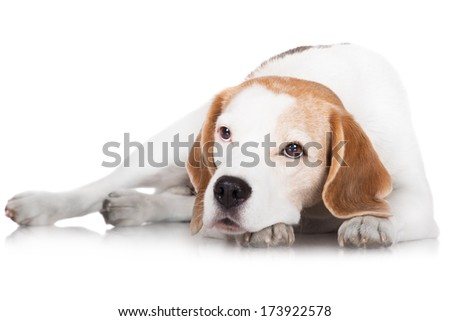 beagle dog lying down - stock photo