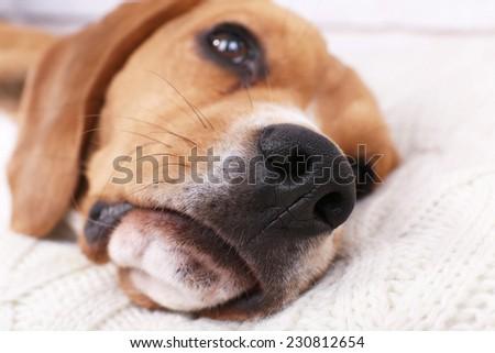 Beagle dog on pillow close-up - stock photo