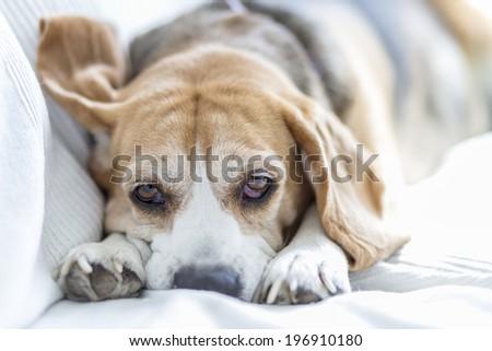 Beagle dog on sofa - stock photo