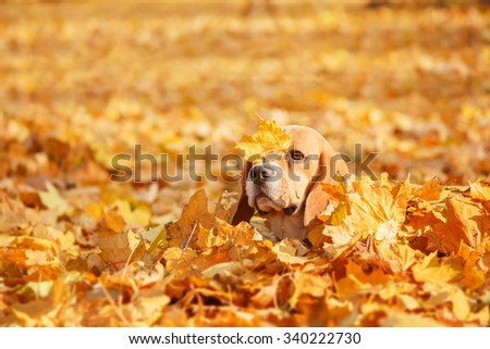 Beagle Dog on the autumn leaves