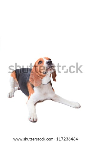 beagle dog on white background - stock photo