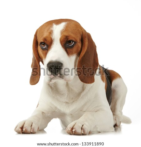 beagle dog on white background