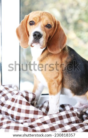 Beagle dog on window background