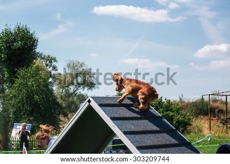 Beagle dog running in agility. Dog sport - stock photo