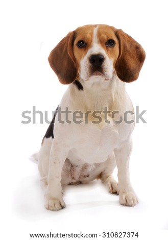 Beagle dog sits stands, isolated on white background