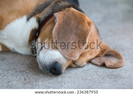 beagle dog sleeping - stock photo