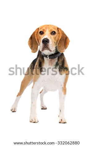 beagle dog standing in front of a white background