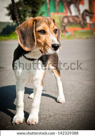 Beagle dog stands - stock photo