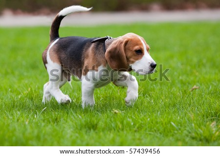 Beagle dog walking on the green grass