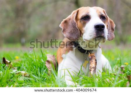 Beagle dog watching - stock photo