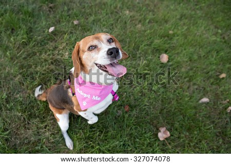 Beagle dog wearing an ADOPT ME bandana