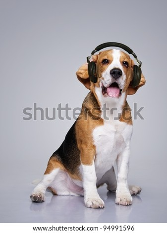 Beagle dog wearing headphones. - stock photo