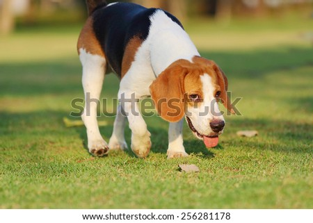 Beagle, Dogs playing happily in the grass