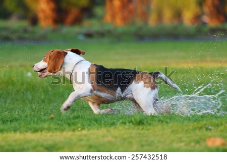 Beagle, Dogs playing happily in the grass - stock photo