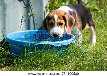 Beagle drinks water from a bowl (9 weeks)